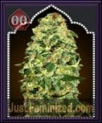 00 OO Seeds Auto California Kush Feminized Marijuana Strain