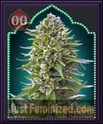 00 OO Seeds Auto NL Feminized Marijuana Strain For Sale Online UK