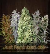 Ace Mixed feminized Cannabis seeds online Cheap UK Sold
