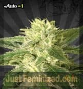 Auto Seeds Auto #1 female weed seeds for sale online