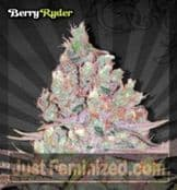 Auto Berry Ryder Cannabis Seeds for Sale UK Feminized