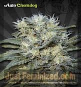 Auto Chemdog Cannabis Seeds for Sale UK Credit Cards OK
