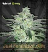 Auto Diesel Berry Cannabis Seeds for Sale UK