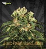 Auto HiJack Cannabis Seeds for Sale from Secure Online