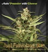 Auto Juicy Lucy Cannabis Seeds for Sale UK Cheap UK Supplier