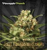 Auto Pineapple Punch Cannabis Seeds for Sale UK Feminized
