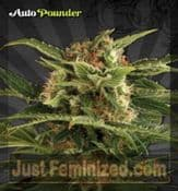 Pounder Cannabis Strain High Yielding Potent Automatic Seeds