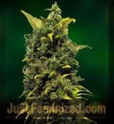 barneys blue cheese buy female cannabis seeds online deal