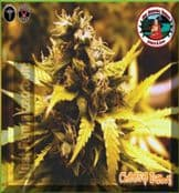 Brand New Big Buddha Cheese Dawg Cannabis Seeds in stock