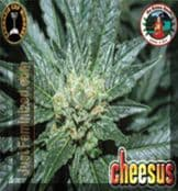 Big Buddha cheesus For Sale at Just Feminized Seeds Bank UK