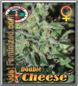 Double Cheese Cannabis Strain Big Buddha