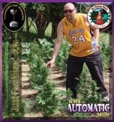 Big Buddha Super Automatic Sativa feminized single seeds