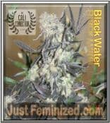 Cali Connection Black Water Cannabis Seeds Marijuana Strain