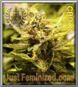 Cali Connection CBD OG Cannabis Seeds Marijuana Strain *Fast*Cheap*