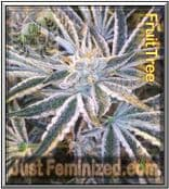 Cali Connection Fruit Tree Cannabis Seeds Marijuana Strain