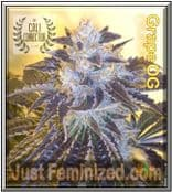 Cali Connection Grape OG Cannabis Seeds Marijuana Strain
