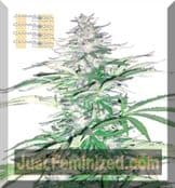 cannabiogen Sugarloaf Buy Cheap at Just Feminized Seeds