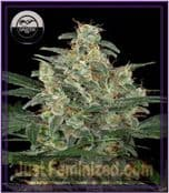 DinaFem Auto Cheese Feminised Cannabis Seeds UK Supplier
