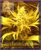 Dr Krippling Kali and the Chocolate Factory Feminised Seeds