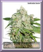 Dutch Passion Auto Brooklyn Sunrise Female Cannabis Seeds