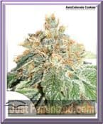 Dutch Passion Auto Colorado Cookies Female Marijuana Seeds