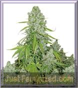 Dutch Passion Automatic The Ultimate Cannabis Seeds