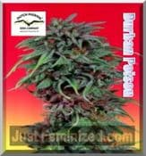 Dutch Passion durban poison feminised marijuana seeds