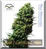 Dutch Passion the ultimate High Yielding Cannabis Seeds Strain
