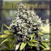 Female Grapefruit Cannabis pick and mix seeds buy online