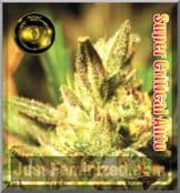 Greenhouse Super Critical Automatic ruderalis skunk seeds
