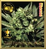 Greenhouse Cheese for Sale at Just Feminized Seeds Bank