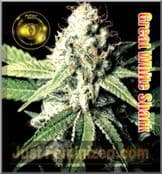 greenhouse Great White Shark female seeds of cannabis online
