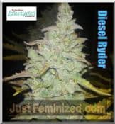 joint doctor dieselryder female cannabis seeds autoflowering