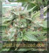 Joint Doctor The OGRE cannabis seeds available to buy online