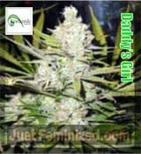 Kiwi Daddy's Girl regular seeds all strains of cannabis for sale