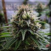 Resin Yummy Regular indica sativa ganja seeds for sale