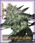 Seed Makers Super Diesel Female Cannabis Seeds for Sale UK
