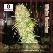Serious Auto White Russian automatic female cannabis seeds