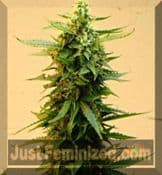 Short Stuff onyx Auto for Sale at Just Feminized Seeds Bank