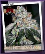 Sin City Seeds SinMint Cookies Feminized Cannabis Strain