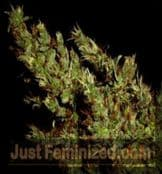 Soma Hash Heaven buy cannabis seeds online with discrete