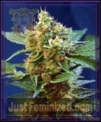 Sweet Seeds Cream Mandarine XL Auto Female Marijuana Strain