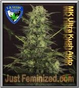 TH Seeds Auto MK Ultra Cannabis Seeds Marijuana Strain - Cheapest