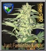 TH Seeds S.A.G.E CBD Cannabis Seeds Marijuana Strain Cheapest Online