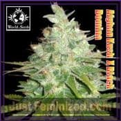 Afghani Kush x Black Domina feminised single seed grow europe