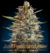 Advanced Auto Blue Diesel cannabis seeds Cards Accepted