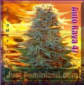 Automatic Kaya 47 cannabis seeds now fully auto-flowering