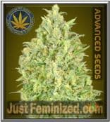 Auto Pineapple Glue - Finest Cannabis Seed for Sale - Advanced