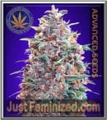 We Sell only Original Advanced Auto Purple Diesel Cannabis Seeds
