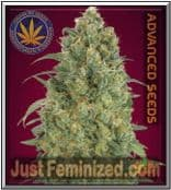 Buy the Finest Quality Advanced Auto Strawberry Gum Cannabis Seeds